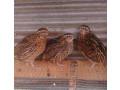 quail-chickens-small-0
