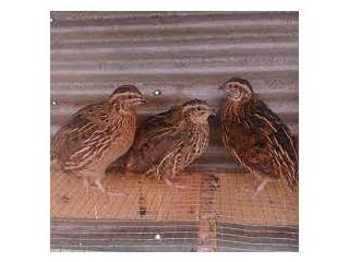 Quail Chickens