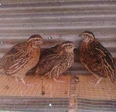 quail-chickens-big-0