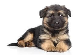 german-shepherd-puppies-big-0