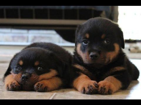 rottweiler-puppies-big-0