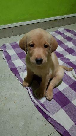 labrador-retriever-puppies-for-sale-big-0