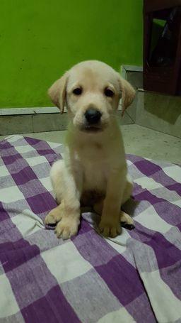 labrador-retriever-puppies-for-sale-big-1
