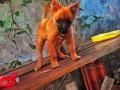 pommerian-puppy-small-0