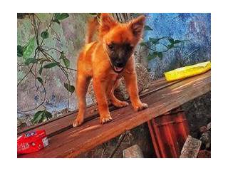 Pommerian Puppy