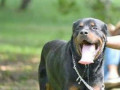 imported-rottweiler-crossing-stud-small-0
