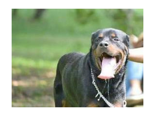 Imported Rottweiler Crossing (stud