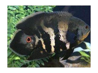 Oscar fished