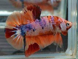 fighter-fish-big-0