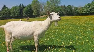 goats-big-0