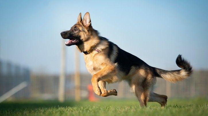 german-shepherd-long-coat-male-dog-big-0