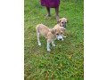 free-dogs-for-kind-homes-small-0