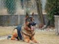 german-shepherd-dog-small-0