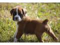 boxer-puppies-small-0