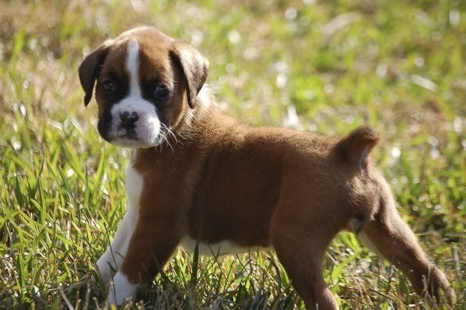 boxer-puppies-big-0