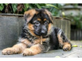 germen-shepherd-crossed-puppies-small-1