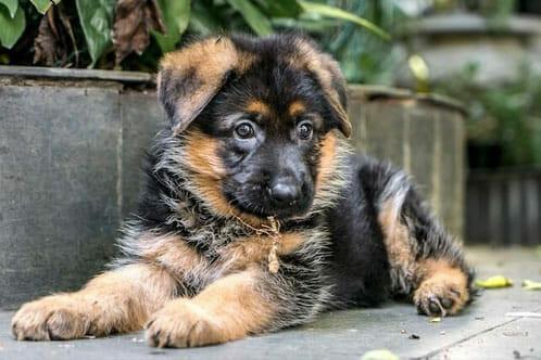 germen-shepherd-crossed-puppies-big-1