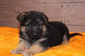 germen-shepherd-crossed-puppies-big-0