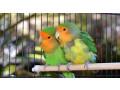 love-birds-koodu-small-1