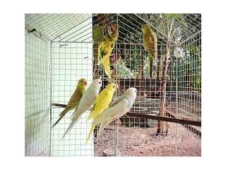 Love Birds Koodu