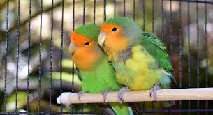 love-birds-koodu-big-1