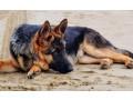 german-shepherd-dog-for-crossing-small-1