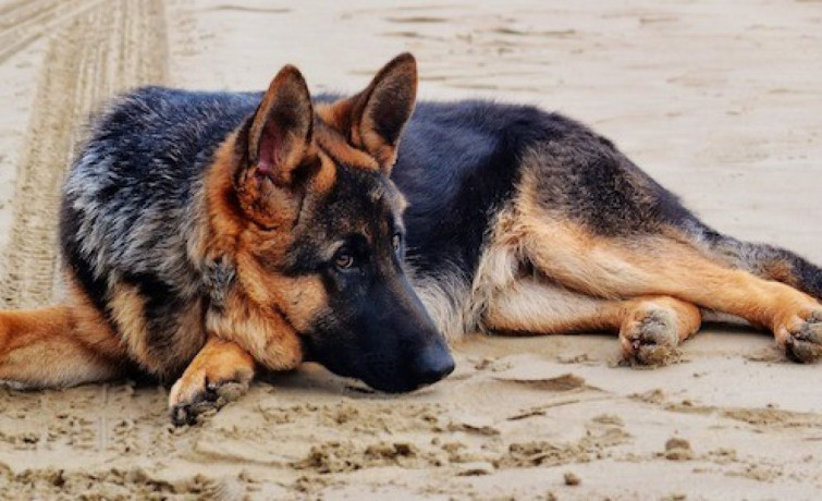 german-shepherd-dog-for-crossing-big-1