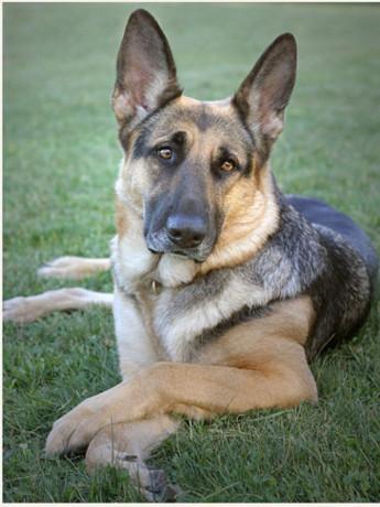 german-shepherd-dog-for-crossing-big-0