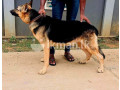 german-and-lion-shepherd-for-crossing-small-1