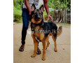 german-and-lion-shepherd-for-crossing-small-2