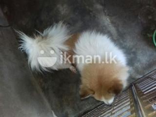 Pomeranian Dog Crossing