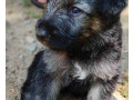 german-shepherd-puppy-for-sale-small-0