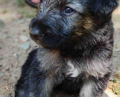 german-shepherd-puppy-for-sale-big-0