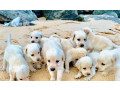 labrador-puppy-small-1