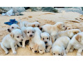 labrador-puppy-small-2