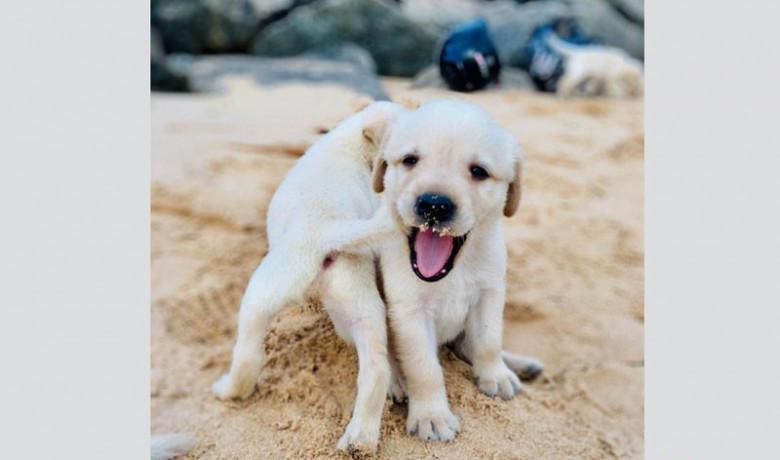 labrador-puppy-big-0