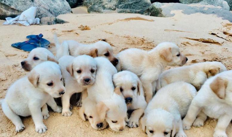 labrador-puppy-big-2