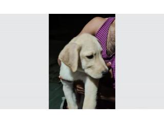 Labrador Retriever Puppy's