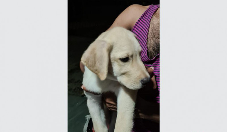 labrador-retriever-puppys-big-0