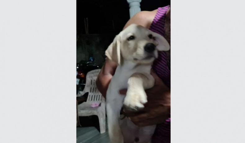 labrador-retriever-puppys-big-1