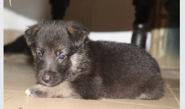 german-shepherd-female-puppy-big-0