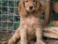 cocker-spaniel-puppy-small-0