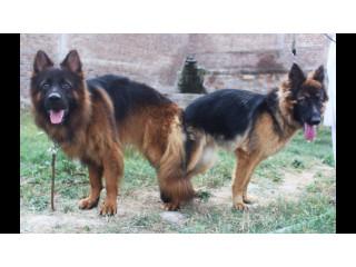 German Shepherd Long Coat Dog for Crossing