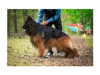 German Shepherd Long Coat