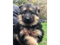 german-shephred-puppies-small-0