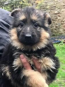 german-shephred-puppies-big-0
