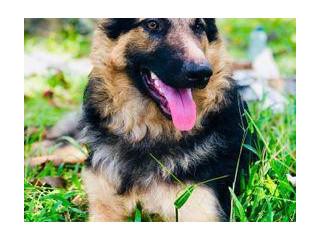 German Shepherd Dog for Crossing