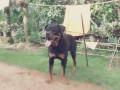 kasl-rottweiler-crossing-small-0