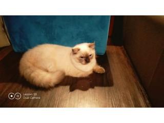 Persian Cat Himalayan