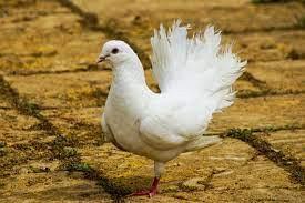 pigeons-big-0